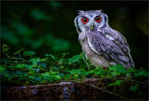 The Clamourous Owl